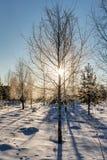 Árboles de abedul en el bosque del invierno Imagen de archivo libre de regalías
