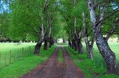 Árboles de abedul en el camino rural Fotografía de archivo libre de regalías