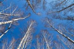 Árboles de abedul en el cielo azul de la primavera Foto de archivo libre de regalías