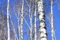 Árboles de abedul en el cielo azul en primavera temprana Foto de archivo