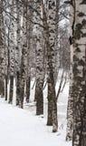 Árboles de abedul en el invierno fotos de archivo