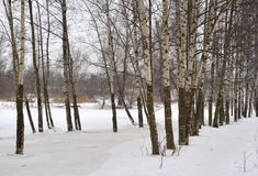 Árboles de abedul en el invierno imágenes de archivo libres de regalías