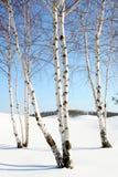 Árboles de abedul en el invierno Foto de archivo