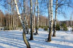Árboles de abedul en el invierno. Imagenes de archivo
