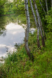 Árboles de abedul en el lago en el fondo del parque Foto de archivo libre de regalías