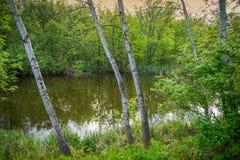 Árboles de abedul en el lago en el fondo del parque Imagenes de archivo