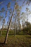 Árboles de abedul en el otoño Imagen de archivo