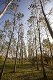 Árboles de abedul en el otoño Fotografía de archivo libre de regalías