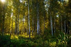 Árboles de abedul en el otoño, fondo hermoso del paisaje de la naturaleza en la puesta del sol Fotografía de archivo