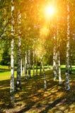 Árboles de abedul en el otoño temprano - paisaje rural escénico del otoño Imagenes de archivo
