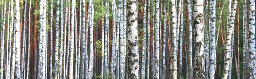 Árboles de abedul en el otoño temprano, panorama de la caída Foto de archivo