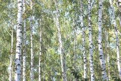 Árboles de abedul en el otoño temprano, panorama de la caída Fotografía de archivo
