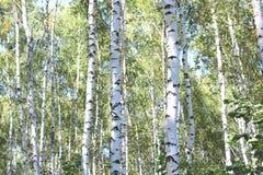 Árboles de abedul en el otoño temprano, panorama de la caída Fotos de archivo libres de regalías