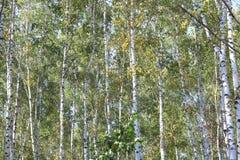 Árboles de abedul en el otoño temprano, panorama de la caída Fotografía de archivo libre de regalías