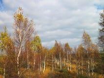 Árboles de abedul en el pantano en otoño, Lituania Foto de archivo