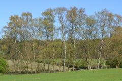 Árboles de abedul en el parque de naturaleza Veluwezoom Foto de archivo libre de regalías