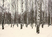 Árboles de abedul en el parque en invierno Fotos de archivo