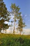 Árboles de abedul en el prado Foto de archivo