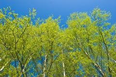 Árboles de abedul en el resorte Fotografía de archivo libre de regalías