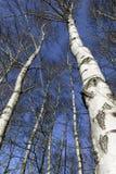 Árboles de abedul en el sol de la mañana Fotos de archivo libres de regalías