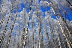 Árboles de abedul en escarcha en un día de invierno claro Foto de archivo libre de regalías