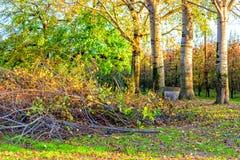 Árboles de abedul en filas de los árboles de melocotón Imágenes de archivo libres de regalías
