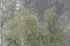Árboles de abedul en fuertes lluvias Fotografía de archivo