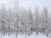 Árboles de abedul en helada, Lituania Imagen de archivo