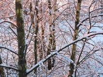 Árboles de abedul en helada, Lituania Fotos de archivo libres de regalías