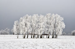 Árboles de abedul en invierno Imágenes de archivo libres de regalías