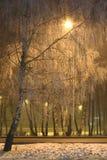 Árboles de abedul en invierno Imagen de archivo libre de regalías