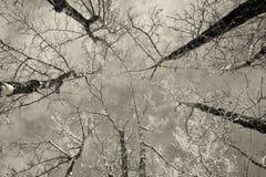 Árboles de abedul en invierno Fotos de archivo libres de regalías