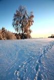 Árboles de abedul en invierno Fotografía de archivo libre de regalías