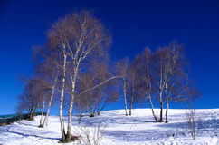 Árboles de abedul en invierno Fotografía de archivo