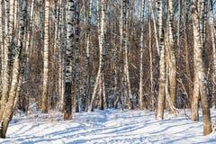 Árboles de abedul en invierno Imagen de archivo