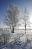 Árboles de abedul en invierno contra un cielo azul con un sol Fotos de archivo