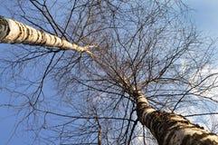 Árboles de abedul en invierno Foto de archivo
