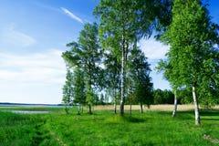 Árboles de abedul en la cara del lago Foto de archivo libre de regalías