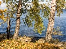 Árboles de abedul en la costa Fotografía de archivo libre de regalías