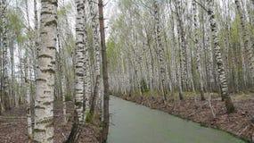 Árboles de abedul en la costa del pantano Imagen de archivo