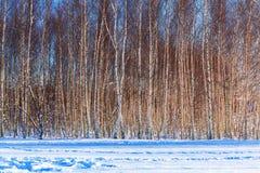 Árboles de abedul en la estación del invierno Imagen de archivo