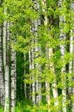 Árboles de abedul en la madera Fotos de archivo libres de regalías