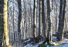 Árboles de abedul en la montaña nevada en invierno Imagen de archivo libre de regalías