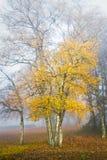 Árboles de abedul en la niebla en otoño Imagenes de archivo