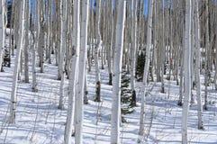 Árboles de abedul en la nieve Fotos de archivo