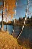 Árboles de abedul en la orilla Imagen de archivo libre de regalías