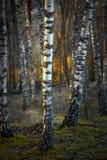 Árboles de abedul en la puesta del sol Imagen de archivo libre de regalías