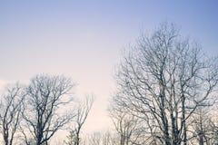 Árboles de abedul en la puesta del sol Fotografía de archivo