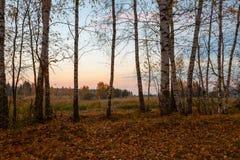 Árboles de abedul en la puesta del sol Imágenes de archivo libres de regalías