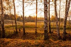 Árboles de abedul en la puesta del sol Imagenes de archivo